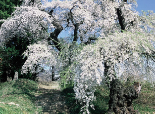 Daizoji Temple Weeping Cherries