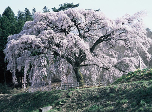 The Hosui Cherry