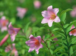 Tsutsumigataira Lillies