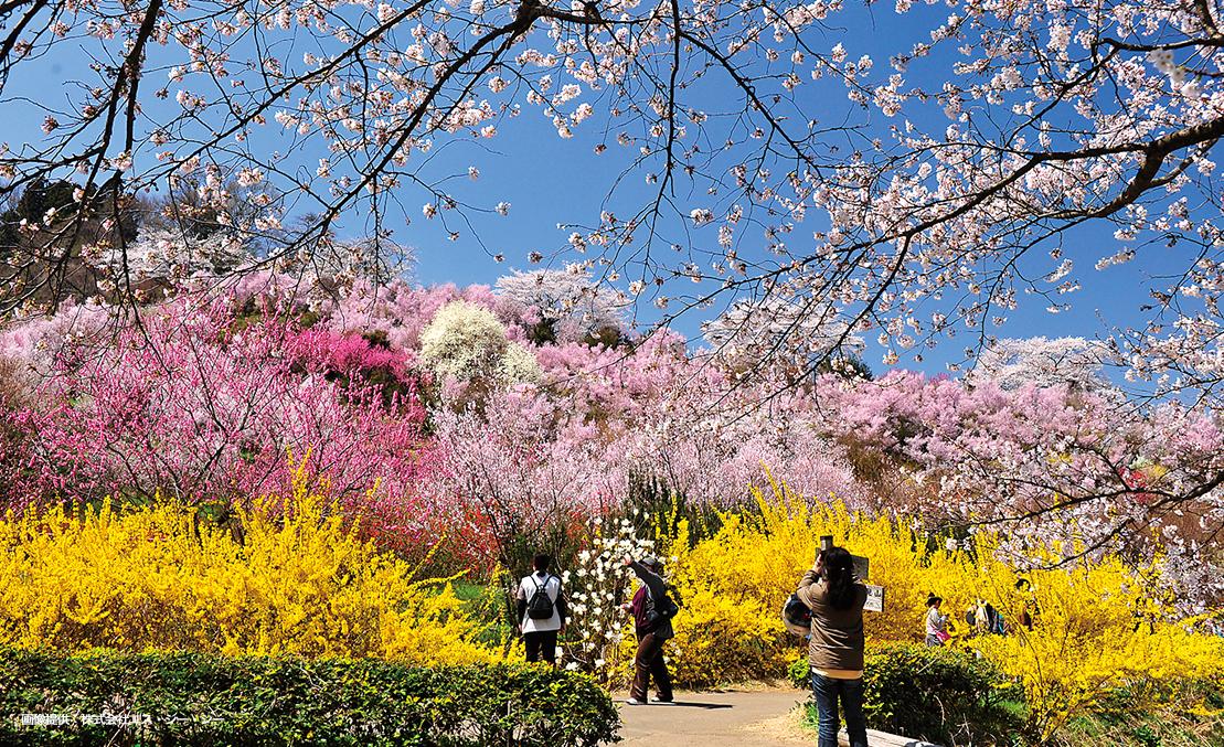 "Fukushima spring scene""Hanamiyama"""