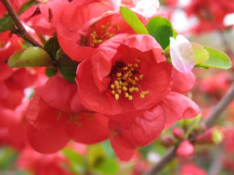 Japanese Quince (Boke)