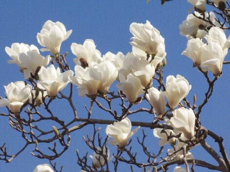 Yulan Magnolia (Haku-Mokuren)