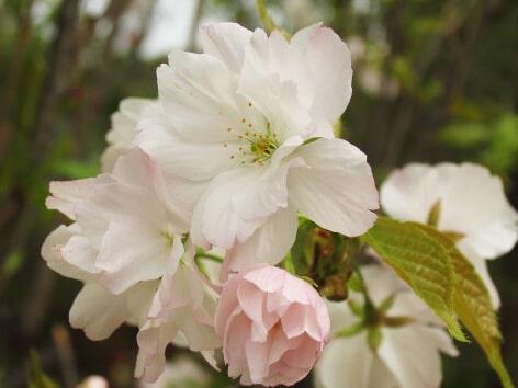 Amanogawa Cherry