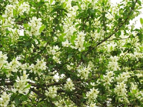 Pearlbush (Rikyubai)