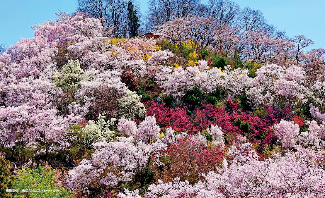 福島の春の情景「花見山」