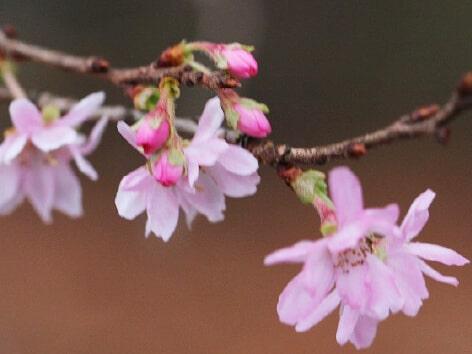 十月桜バラ科サクラ属