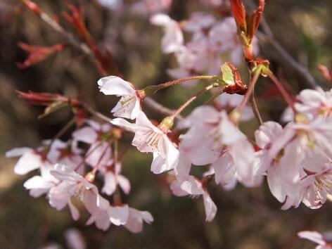 東海桜バラ科サクラ属
