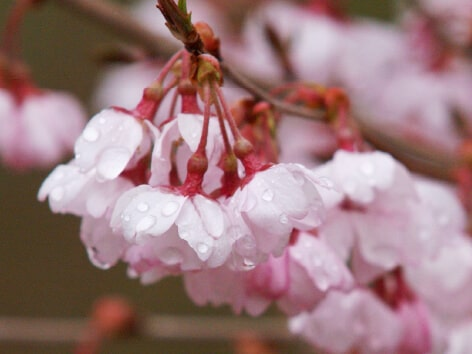 彼岸桜バラ科