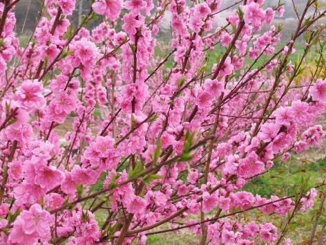 花桃バラ科サクラ属モモ亜属