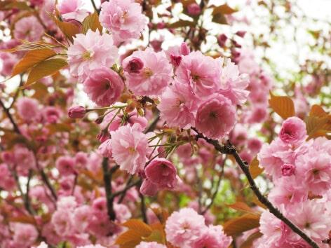 八重桜バラ科