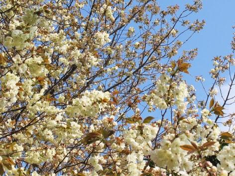 鬱金桜バラ科サクラ属